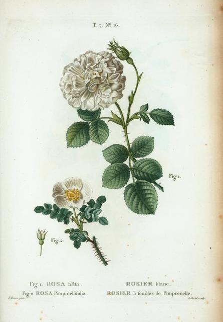 Fig. 1. Rosa alba = Rosier blanc. Fig. Rosa Pimpinellifolia = rosier à feuilles de Pimprenelle. [Alba Semi-Plena; White Rose of York - Scotch Rose, Burnet rose]