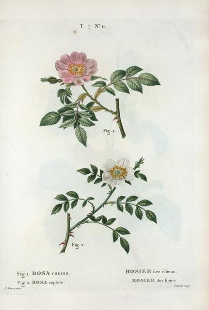 Fig. 1. Rosa canina = Rosier des chiens. fig. 2. Rosa sepium = Rosier des haies. [Dog rose - Wild rose]