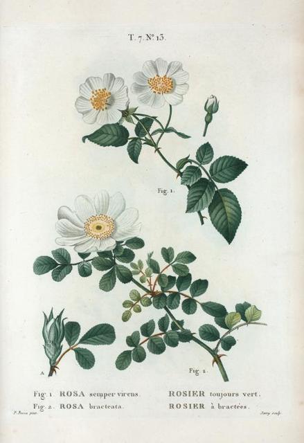 Fig. 1. Rosa semper virens = Rosier toujours vert. Fig. 2. Rosa bracteata = rosier à bractées. [Ever-green rose - Macartney rose]