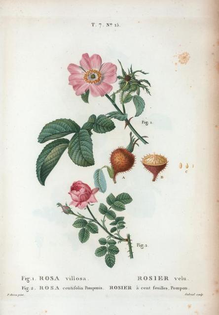 Fig. 1 Rosa villosa = Rosier velu. fig. 2. Rosa centifolia Pomponia = Rosier à cent fuilles, Pompon. [The Apple rose - Pompon rose]