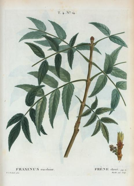 Fraxinus excelsior = Frène élevé. [European ash]