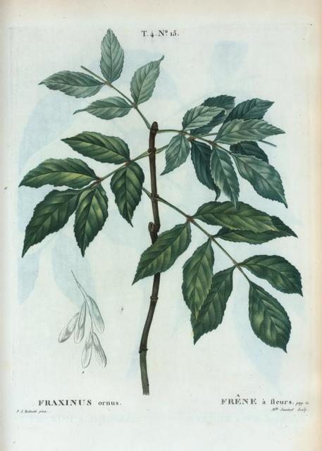 Fraxinus ornus = Frêne à fleurs. [Manna ash or Flowering ash]