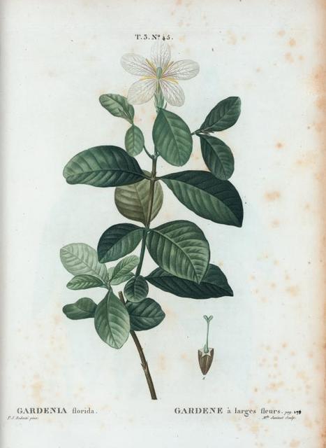 Gardenia Florida = Gardene à larges fleurs.