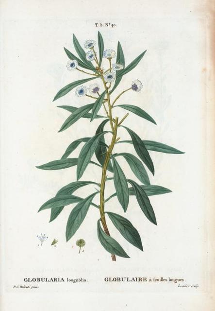 Globularia longifolia = Globulaire à feuilles longues.