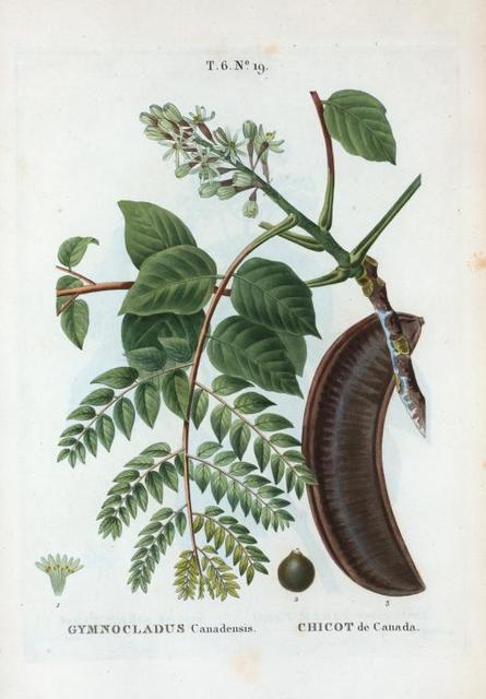 Gymnocladus Canadensis = Chicot de Canada. [ Kentucky coffee tree or American coffee tree]