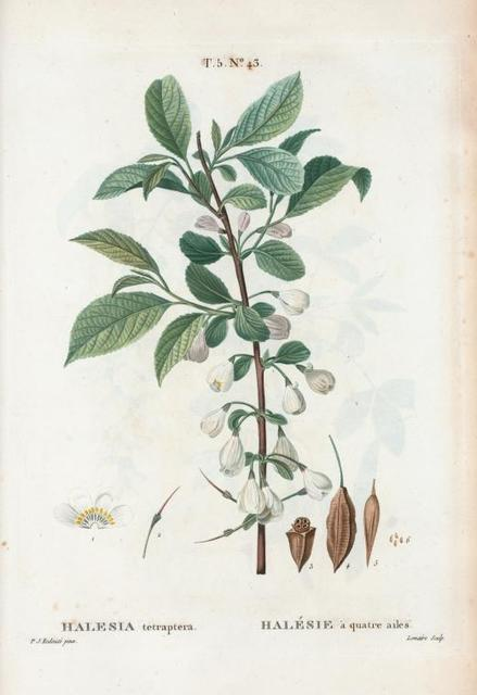 Halesia tetraptera = Halésie à quarte ailes. [Mountain silver-bell or Silver bell tree]
