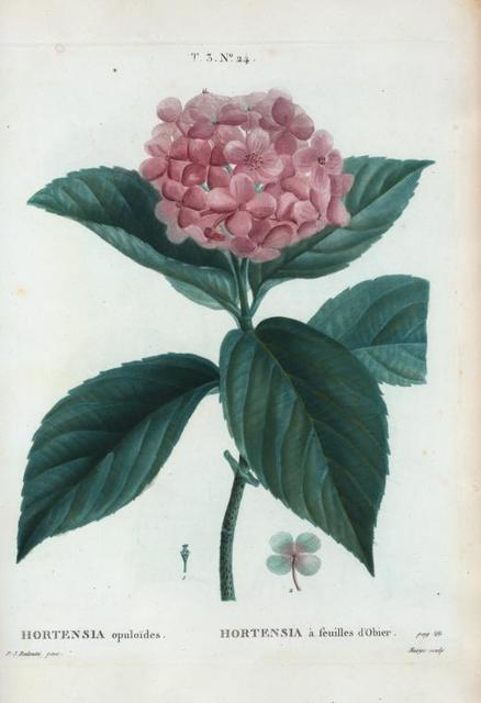 Hortensia opuloïdes = Hortensia à feuilles d'Obier.