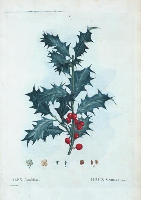 Ilex Aquifolium = Houx Commun. [Holly trees]