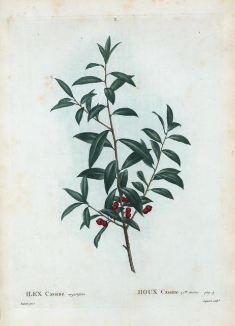 Ilex Cassine angustifolia = Houx Cassine à flles. Étroites. [Alabama dahoon]