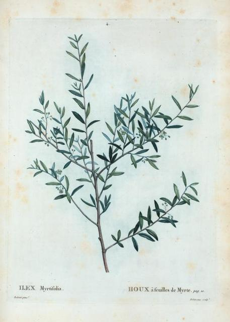 Ilex Myrtifolia = Houx  à feuilles de Myrte. [Myrtle dahoon, Myrtle holly]
