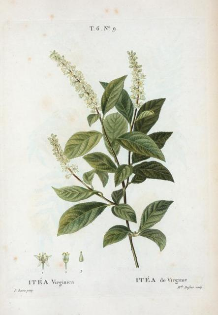 Itea VIrginica = Itéa de Virginie. [Virginia sweetspire, Virginia tea, Tassel-white or Virginia willow]