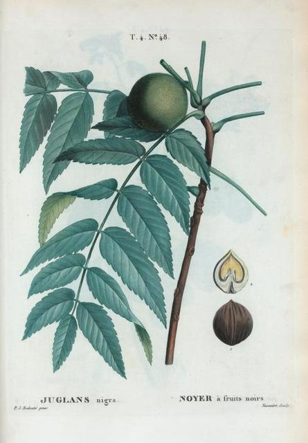 Juglans nigra = Noyer à fruits noirs. [Black walnut]