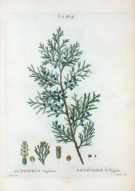 Juniperus Virginiana = Génévrier de Virginie. [Eastern red cedar]
