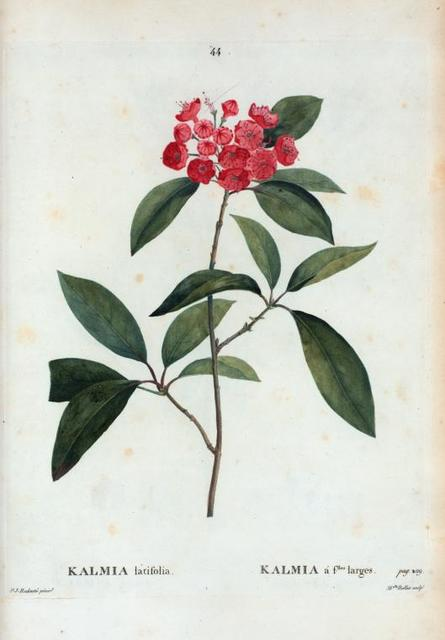 Kalmia latifolia = Kalmia á filles. Larges.