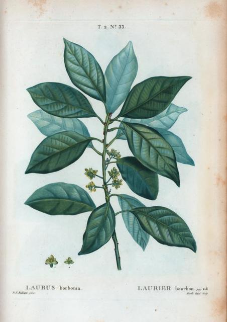 Laurus borbonia = Laurier bourbon.
