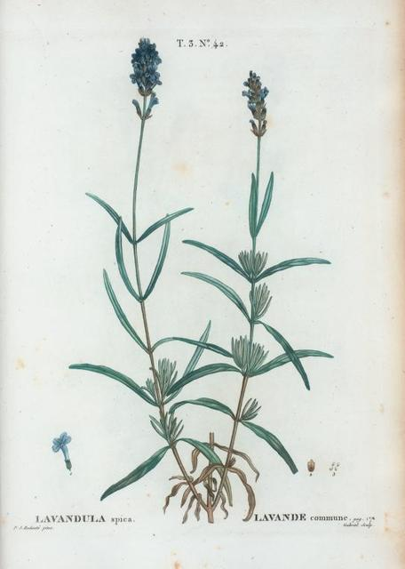 Lavandula spica = Lavande commune. [Broad-leaed lavander or aspic]