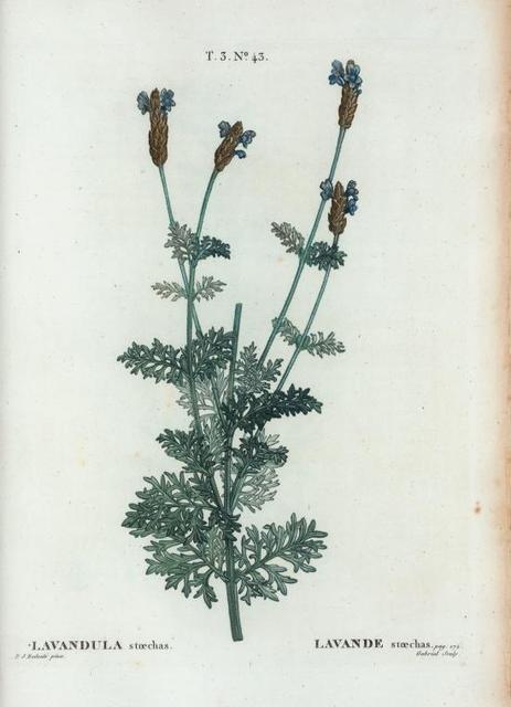 Lavandula stoechas = Lavande stoechas. [French lavander]