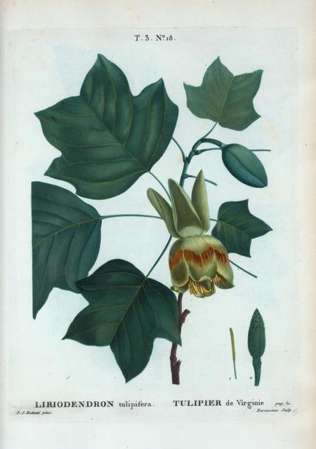 Liriodendron tulipifera = Tulipier de Virginie.
