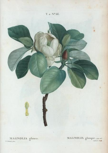 Magnolia glauca = Magnolia glauque.