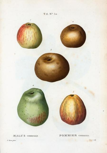 Malus communis = Pommier commun. [5 more varities of apples]