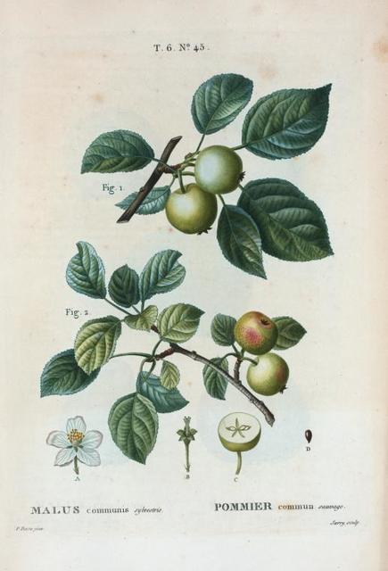 Malus communis sylvestris = Pommier commun sauvage. [Wild apple]