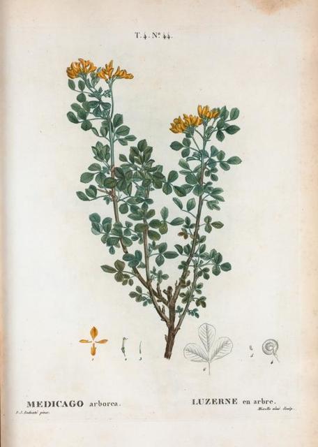 Medicago arborea = Luzerne en arbre. [Moon trefoil or Shrubby medick]