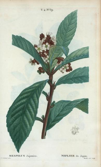 Mespilus Japonica = Neflier du Japon. [Japanese medlar or Loquat]