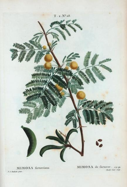 Mimosa farnesiana = Mimosa de farnese.