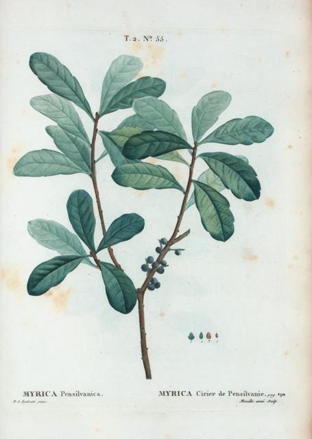 Myrica Pensilvanica = Myrica Cirier de Pensilvanie.