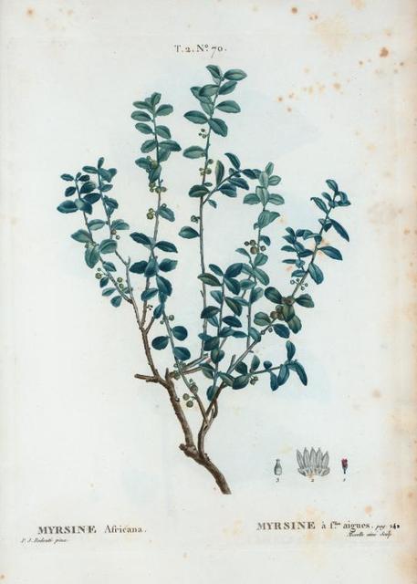 Myrsine Africana = Myrsine à fllles. Aigues.
