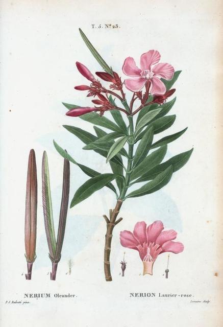 Nerium oleander = Nerion laurier-rose.