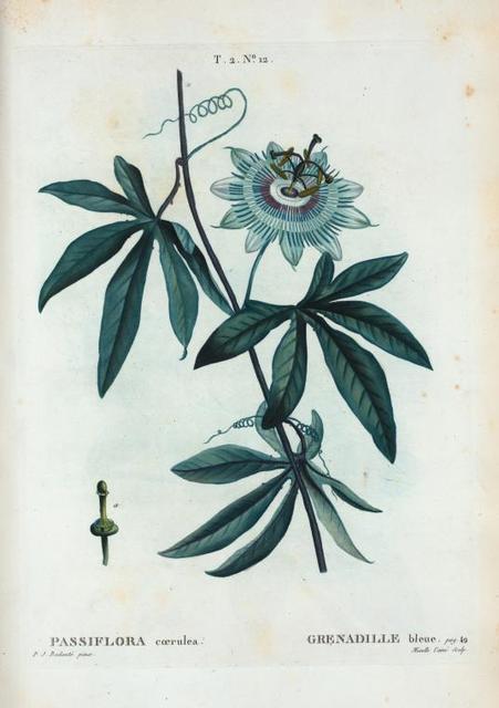 Passiflora coerulea = Grenadille bleue.