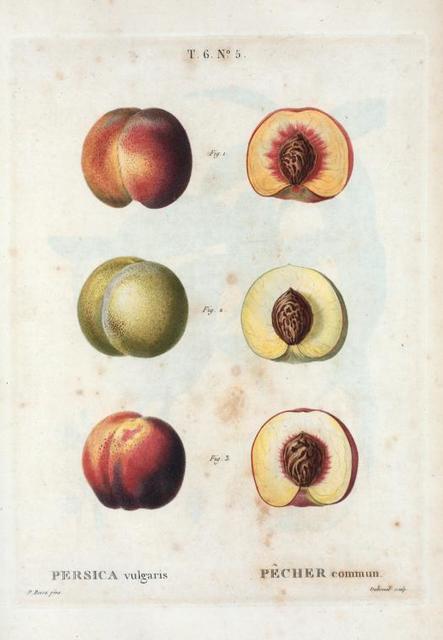 Persica vulgaris = Pêcher commun. [3 types of Peaches]