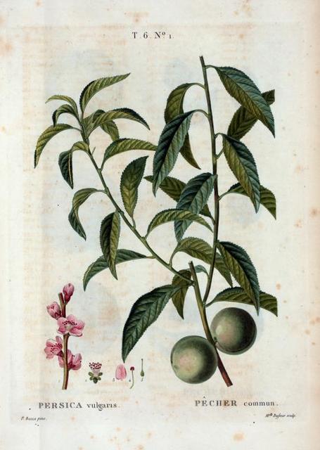 Persica vulgaris = Pêcher commun. [Peach tree]