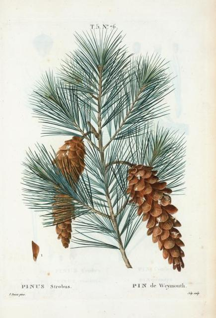 Pinus strobus = Pin de Weymouth. [Eastern White Pine, Northern White Pine, Northern Pine, Soft Pine, Weymouth Pine]
