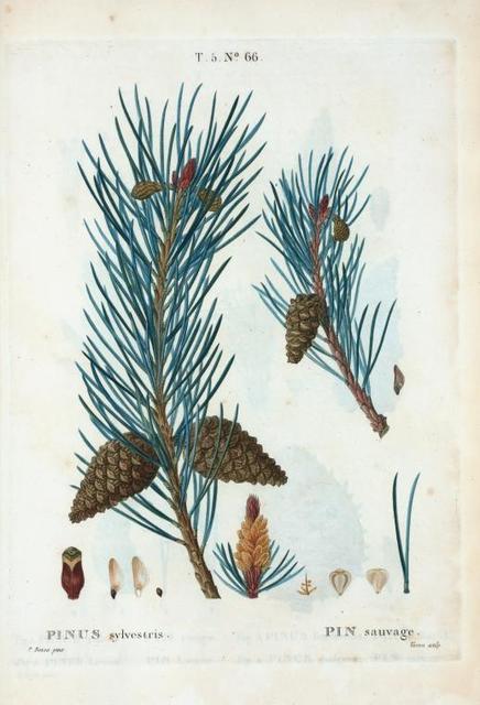 Pinus sylvestris = Pin sauvage. [Scots pine]