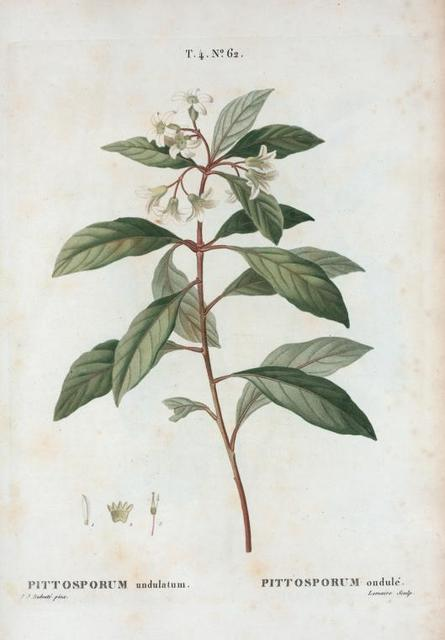 Pittosporum undulatum = Pittosporum ondulé. [Victorian box, Mock orange, Cheesewood]