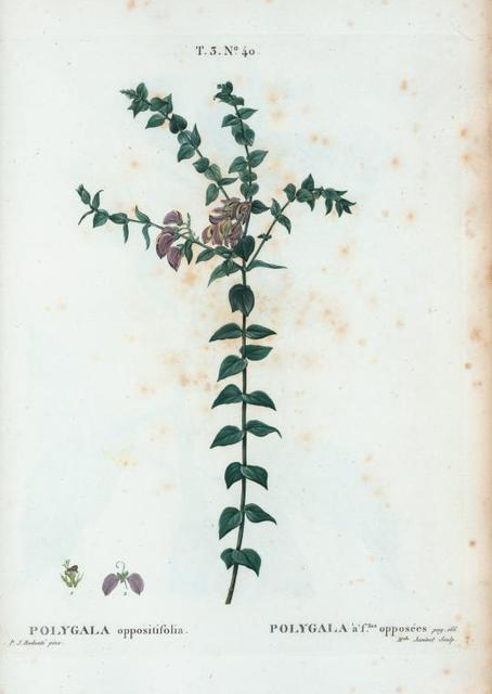 Polygala oppositifolia = Polygala à flles. opposées. [Opposite-leaved milk wort]