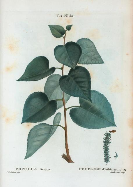 Populus Græca = Peuplier d'Athènes.
