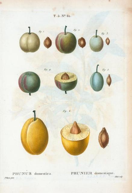 Prunus domestica = Prunier domestique.