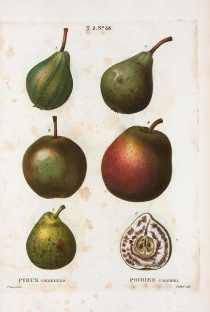 Pyrus communis = Poirier commun. [5 varities of pears and a half-cut pear]]