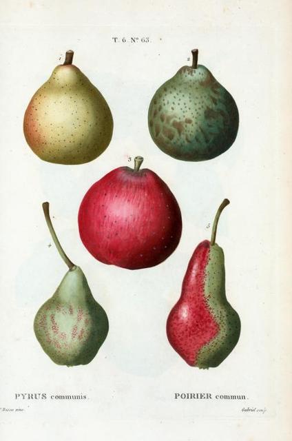 Pyrus communis = Poirier commun. [Ripe and unripe pears]