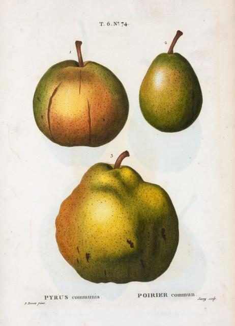 Pyrus communis = Poirier commun. [Three pears]
