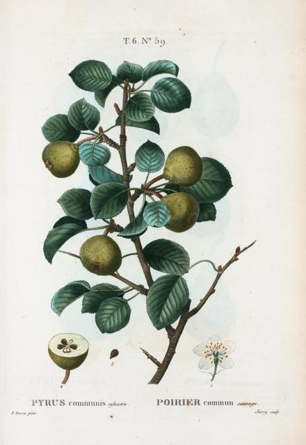 Pyrus communis sylvestris = Poirier commun sauvage. [Common pear].