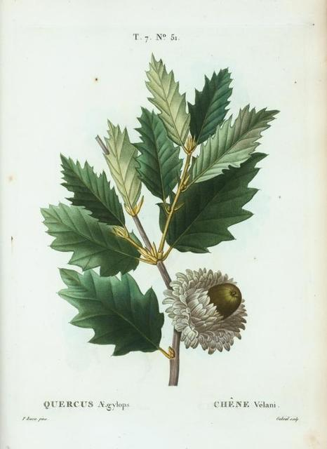Quercus Ægylops = Chéne Vélani. [Valonian Oak]