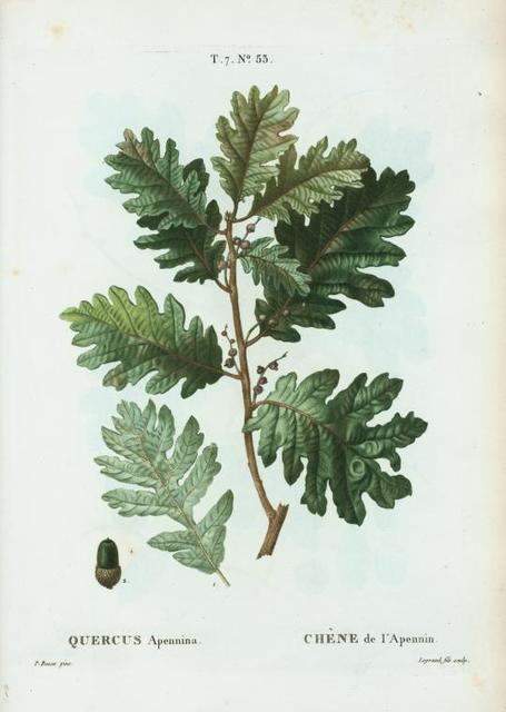 Quercus Apennina = Chéne de Apennin.