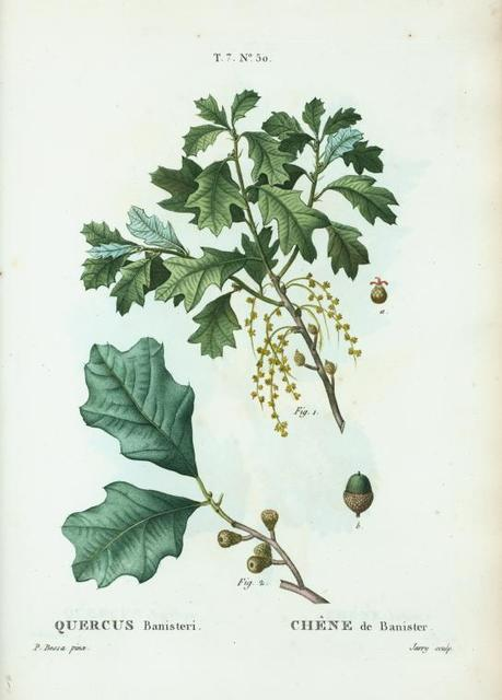 Quercus banisteri = Chéne de banister. [Bear Oak or Scrub Oak]