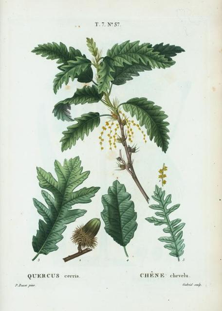 Quercus cerris = Chéne chevelu. [Turkey Oak]
