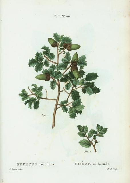 Quercus coccifera = Chéne Kermés. [Kermes Oak]