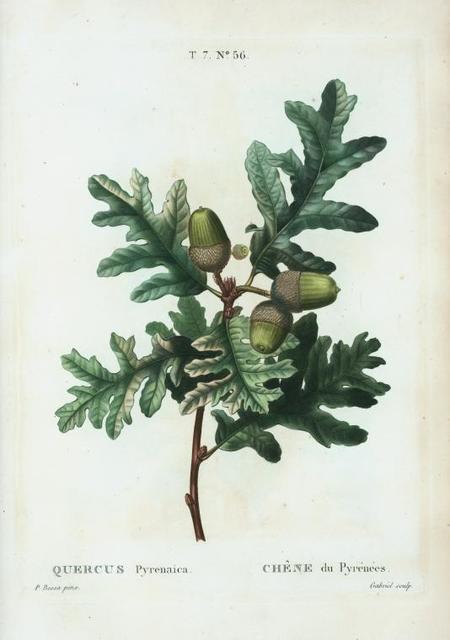 Quercus pyrenaica = Chàne du pyrénées.